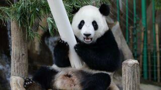 Bonne nouvelle ! Un bébé panda va naître au zoo de Beauval