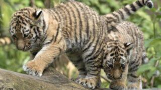 Le tigre, superstar d'une web-série du WWF