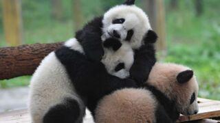 Encore plus de pandas ! Free offre à ses abonnés l'accès à Panda Channel