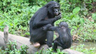 Une saison chez les bonobos arrive sur France 4 le...