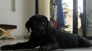 Voici Philae le labrador, le cadeau de Noël de François Hollande ! (PHOTOS)