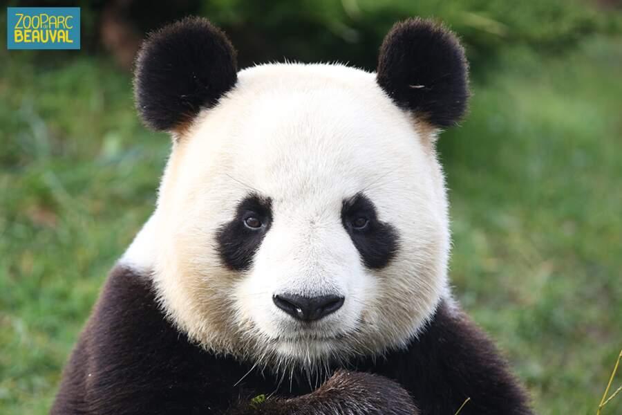 Unique en France, un couple de pandas vit au zoo de Beauval (Saint Aignan, 41)