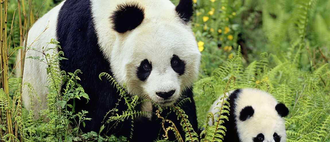 Une maman panda donne le bain son petit et c 39 est vraiment trop mignon video - Image de panda a imprimer ...
