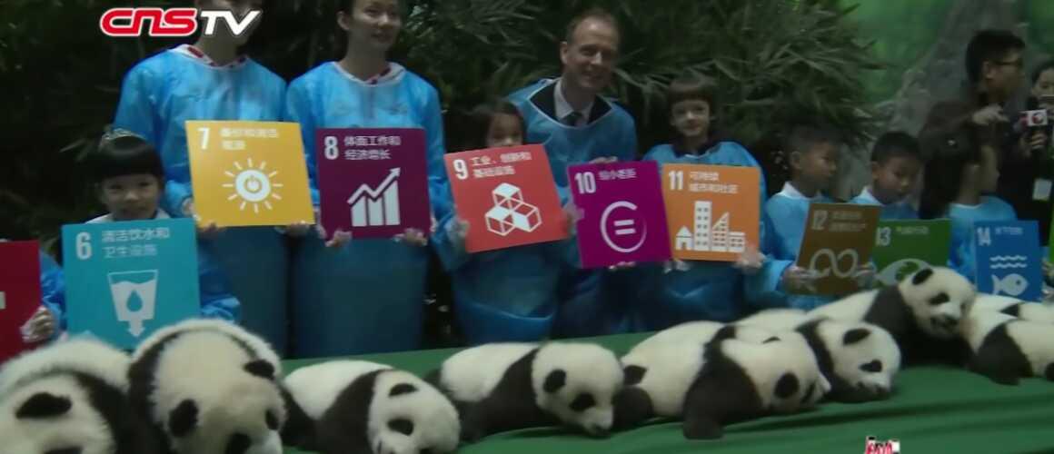 insolite naissances de 12 b b s pandas en chine totalement craquant video. Black Bedroom Furniture Sets. Home Design Ideas