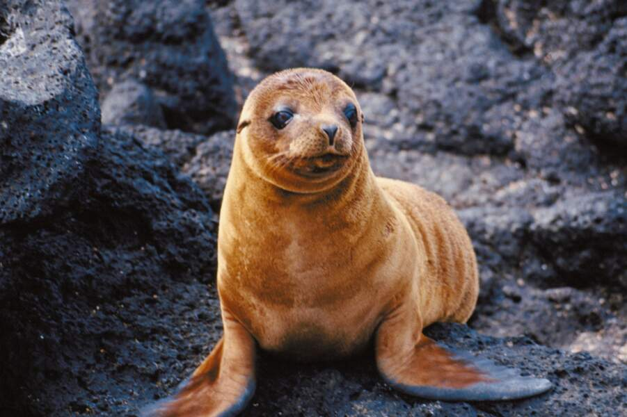 Cette jeune otarie est à l'aise sur la terre ferme aussi bien que dans l'eau. Malin, le mammifère marin !