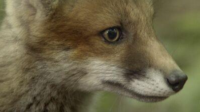 Les Saisons : vous allez craquer pour ce bébé renard, courageux… mais pas trop ! (EXCLU VIDEO)