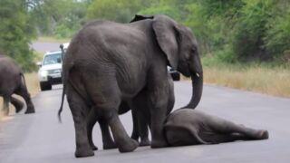 Un éléphanteau s'effondre sur la route : les siens viennent le secourir ! (VIDEO)