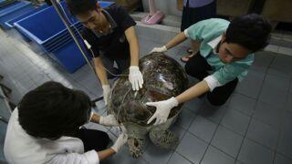 Vous ne devinerez jamais ce que cette tortue thaïlandaise a avalé (VIDÉO)