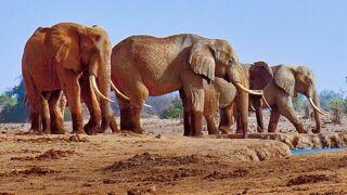 """Au Kenya, un des derniers éléphants à """"défenses géantes"""" abattu par des braconniers"""