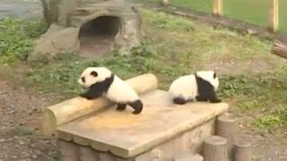 La première sortie de deux adorables jumeaux pandas ! (VIDEO)