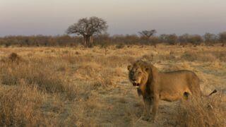 La loi du lion (Arte) : quand le roi des animaux se découvre comme rarement