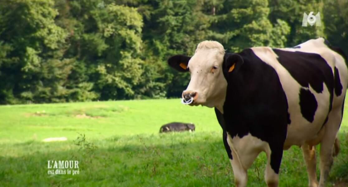 Elle va juste embêter une vache qui se demande bien pourquoi l'animatrice de M6 entre dans son pré