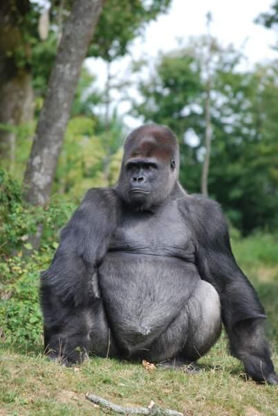 C'est le plus impressionnant des animaux... Ce gorille vit aussi dans la Vallée des Singes et pèse plus de 200 kg.