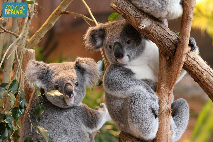 Ben non on allait pas oublier les koalas... Qui sont en plus uniques en France ! Rdv au parc de Beauval (St Aignan)