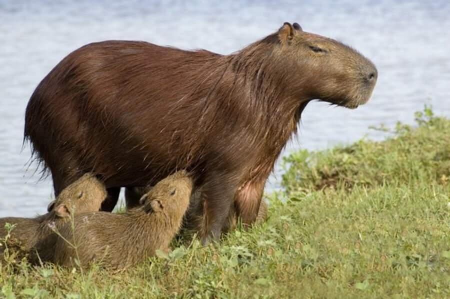 C'est le plus gros rongeur du monde, (un gros hamster en somme!) et il s'appelle le capybara (Arcachon)