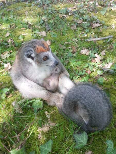 Andromède, la femelle maki couronné du parc, vient de donner naissance ! OOOh ! (La Vallée de singes)