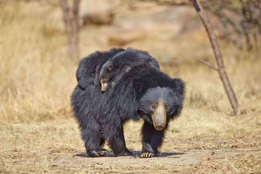 Cet ours paresseux, vu dans les montagnes de l'Inde, n'hésite pas à porter toute sa tribu sur le dos.