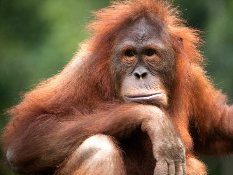 Ce grand primate semble un peu triste de la situation des autres ourangs-outans en Indonésie. Et on le comprend.