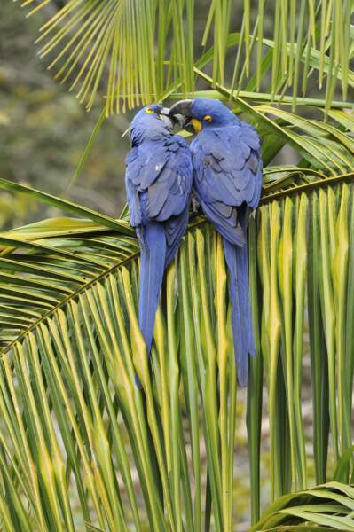 Et pour finir en beauté, un bisou entre deux majestueux perroquets aux magnifiques plumages bleus.