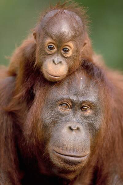 On aurait bien envie d'adopter ce bébé orang-outan, si sa mère ne veillait pas au grain.