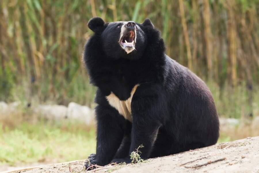 Quel animal coquet que cet ours à collier ! Pour le voir, rendez-vous au zoo d'Arcachon (La Teste de Buch, 33)