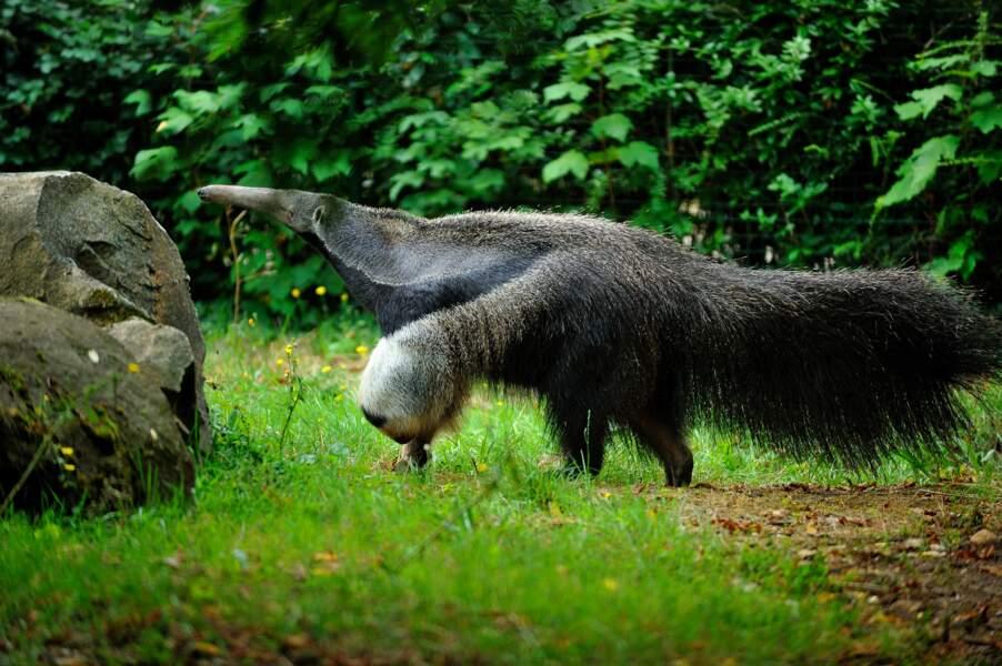 Alors lui il est vraiment bizarre, c'est le grand Tamanoir ! (Parc zoologique de Paris, bois de Vincennes,75)