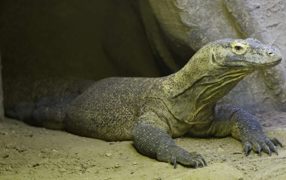 Il ne vit que sur 5 îles indonésiennes, et le Dragon de Komodo est le plus grand de tous les lézards (Thoiry, 78)