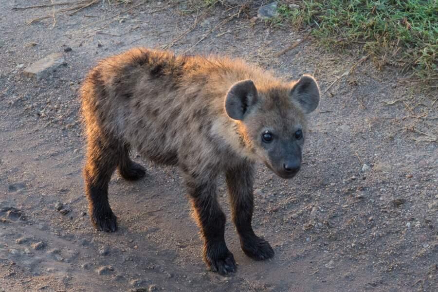 La petite hyène ne ressemble pas encore à ses congénères d'Afrique, des redoutables prédateurs. Grrr !