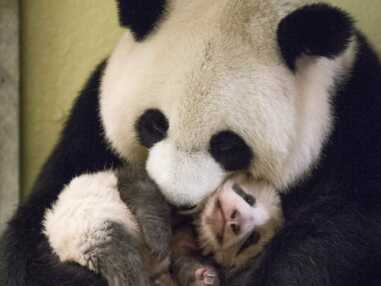 Panda, lynx, loup... découvrez les bébés animaux les plus craquants de 2017 !