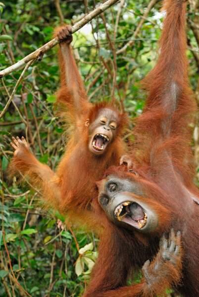 Un jour comme un autre dans la vie d'un Orang-outan du parc de Bornéo en Indonésie.