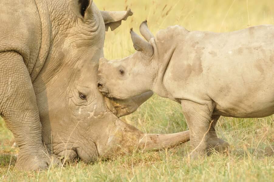 Instant volé entre un rhinocéros blanc et son petit. Craquant, n'est-ce pas ?