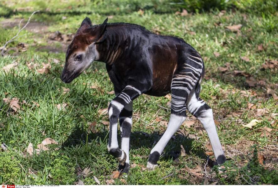 Ce petit okapi est issu de la même famille que sa cousine la girafe... Mais il a l'air doux comme un agneau.