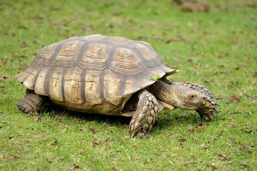 Originaire d'Afrique, la tortue sillonnée peut s'adapter à d'importantes variations thermiques. Pratique !