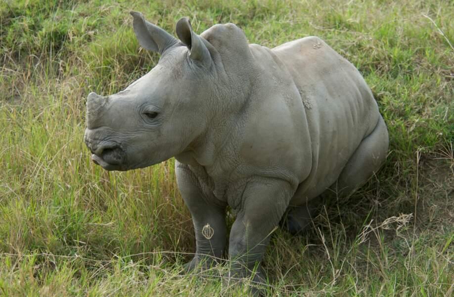 Les deux cornes nasales de ce bébé rhinocéros sont à peine esquissées.