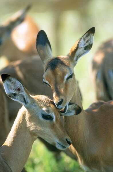 Petit moment de tendresse entre deux antilopes immortalisé dans le parc Kruger en Afrique du Sud.