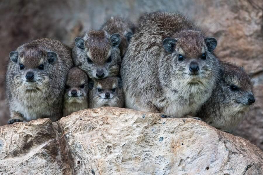 Qui sont ces jolies boules de poils ? Une famille de Damans se réchauffant pour affronter l'hiver.