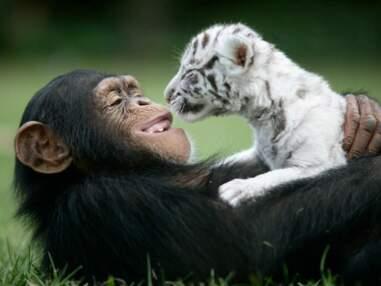 Singe et tigre, chien et guépard... Les amitiés les plus mignonnes d'animaux