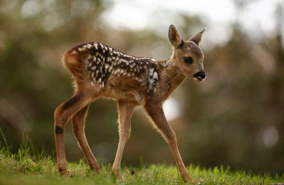 Oh ! Bambi ?