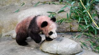 Pourquoi le pelage du bébé panda du zoo de Beauval est-il rose ?