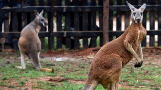 Lapidé par les visiteurs d'un zoo en Chine, un kangourou meurt