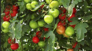 Tomate : tout savoir pour la choisir, la conserver et la déguster