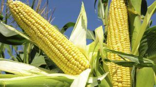 Le maïs, de l'or en grains facile à cuisiner