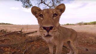 Réalité virtuelle : une vidéo 360° vous emmène au coeur de la savane et d'une meute de lions !