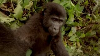Réalité virtuelle : un face à face saisissant avec des gorilles en Ouganda