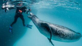 Réalité virtuelle : une incroyable rencontre sous-marine en vidéo 360° avec un léopard de mer