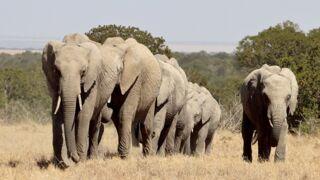 Les éléphants d'Afrique, êtres massacrés... et sans défenses