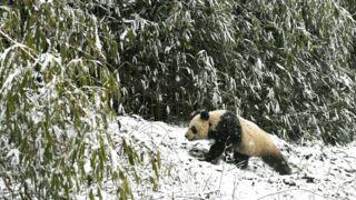 Deux pandas nés en captivité lâchés dans la nature dans la région du Sichuan (Chine)
