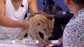 Clique, l'émission de Mouloud Achour, s'excuse d'avoir fait venir un lionceau en plateau