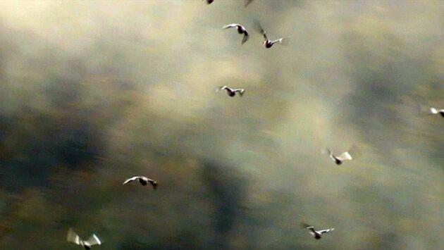 Les chantres de la palombe