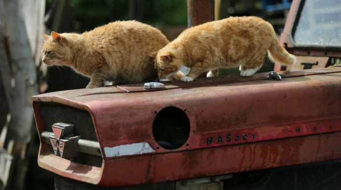 Chats des villes et chats des champs  Des fauves miniatures episode 2 ,  Documentaire , Télé,Loisirs